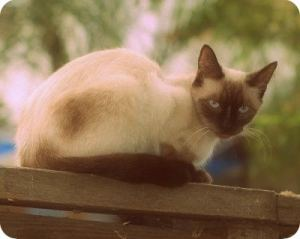 seal-point-siamese-catedit
